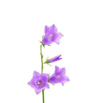Harangvirág - csempematrica